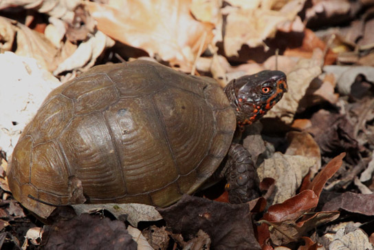 male Eastern box turtle Missouri