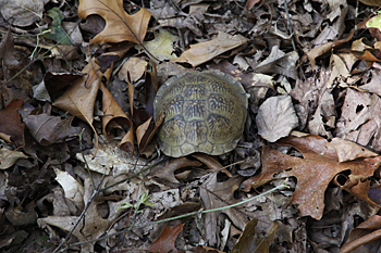 Eastern box turtle shell Missouri