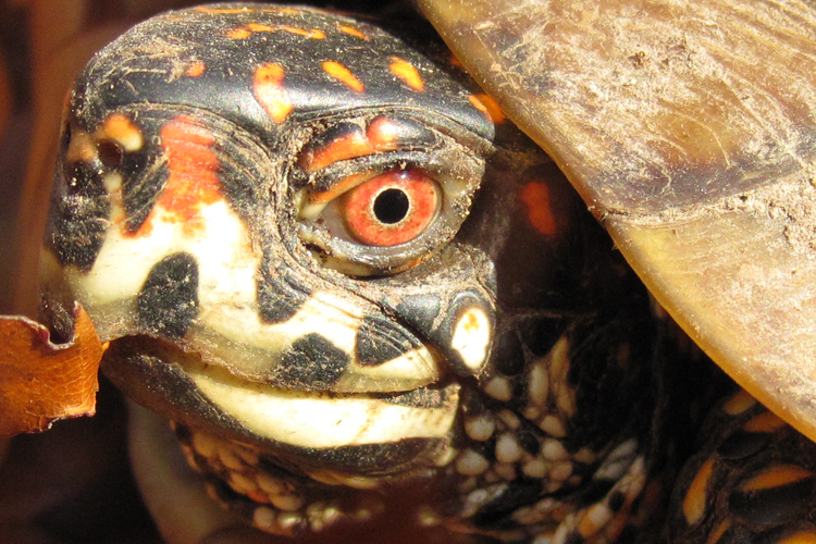 missouri eastern box turtle red eye closeup male