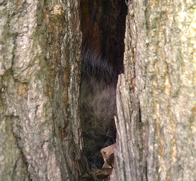 opossum inside mulberry tree morus alba sleeping