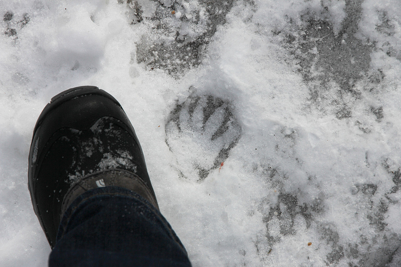 raccoon tracks winter ice Procyon lotor