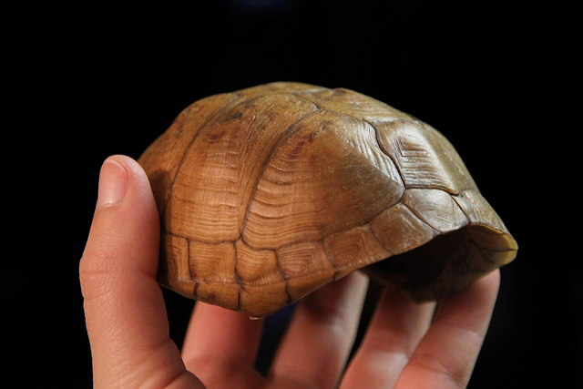 eastern box turtle shell cleaned